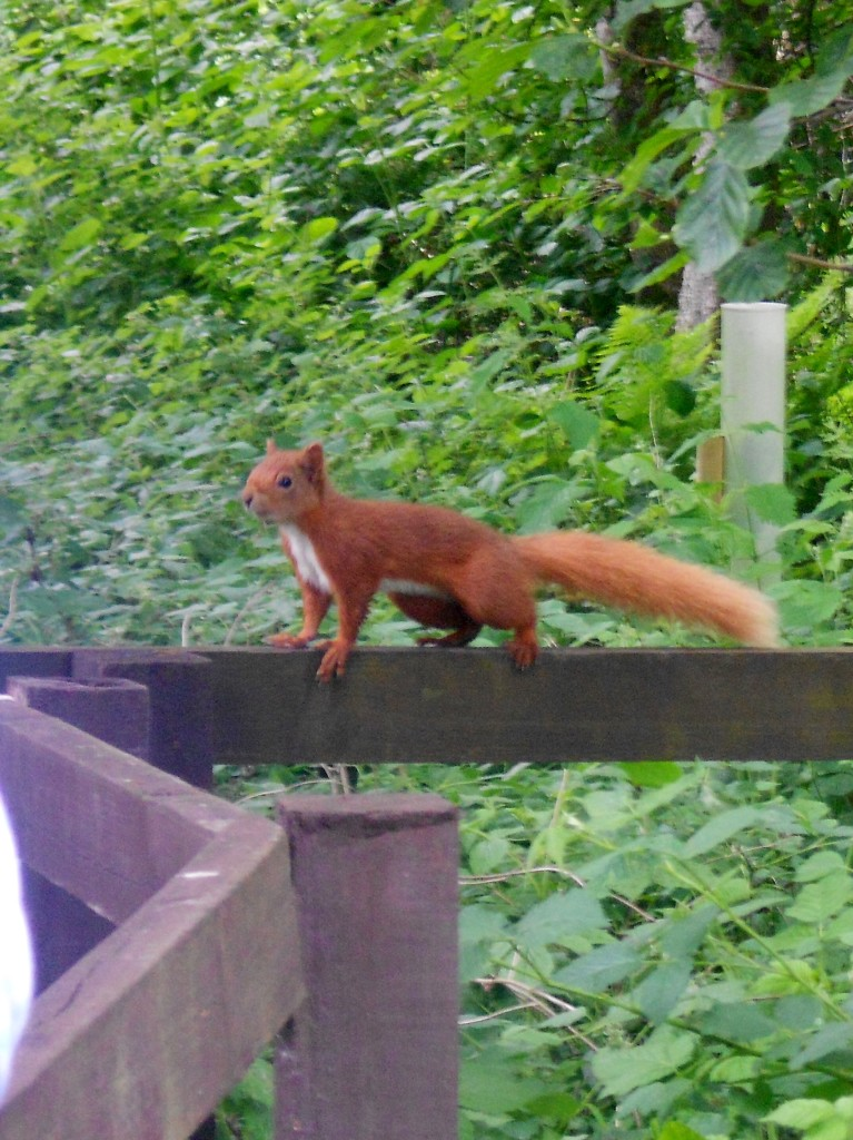 Red squirrels are often unfazed by human presence