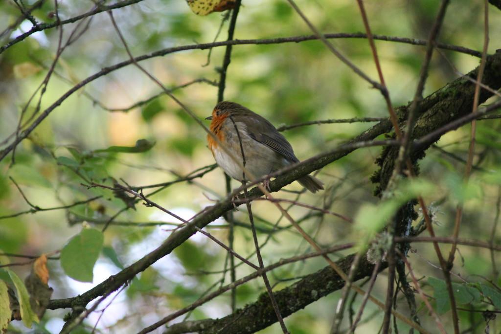 Robin ©Laura Hopkins/Scottish Wildlife Trust