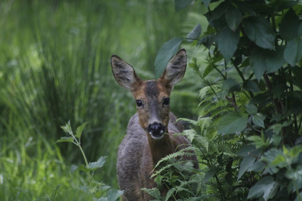 Roe Deer ©Laura Hopkins/Scottish Wildlife Trust