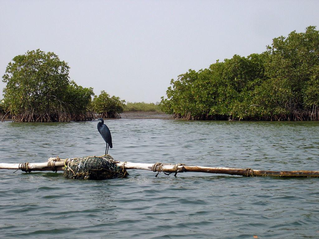 Western Reef-Heron in the Delta du Saloum Biosphere Reserve (Credit: Manuele Zunelli)
