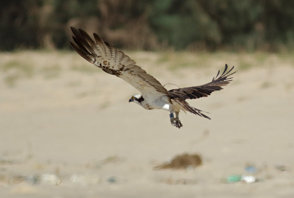 Blue YD in flight ©John Wright/Rutland Osprey Project