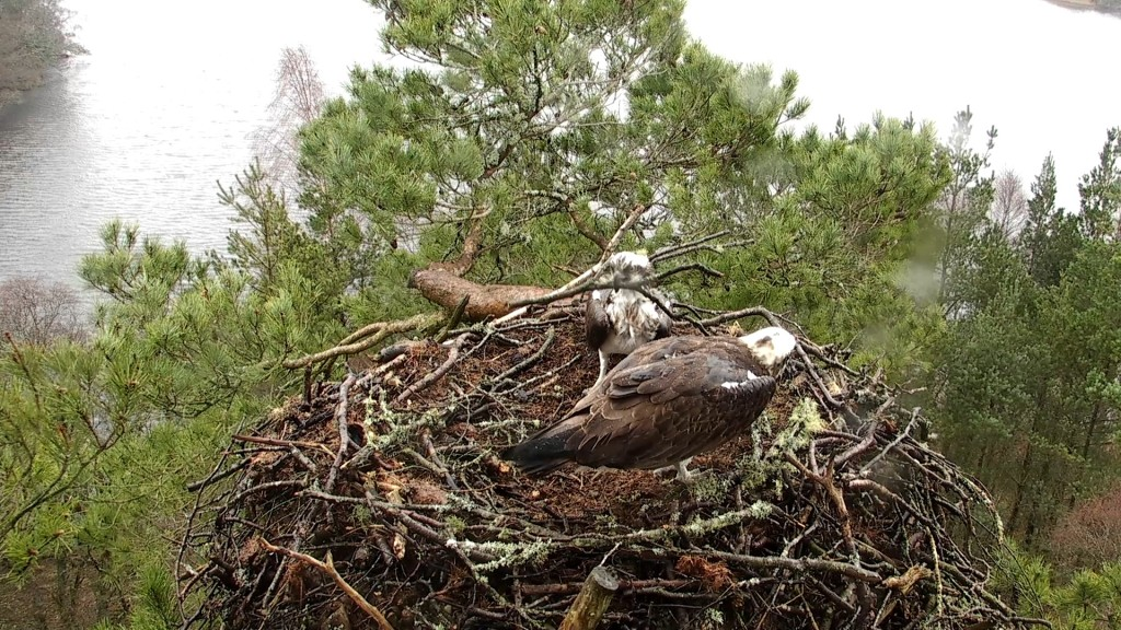 Our male and female busy nest building © Scottish Wildlife Trust