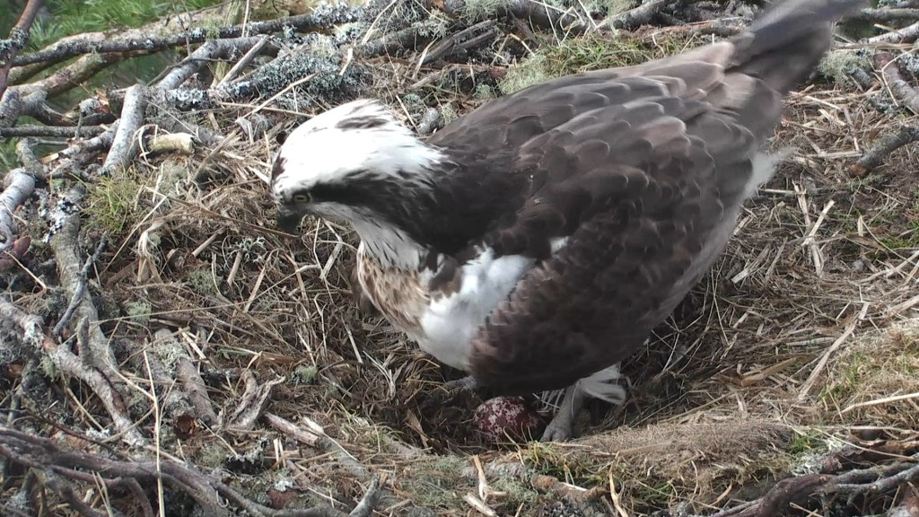 First glimpse of the egg in daylight © Scottish Wildlife Trust
