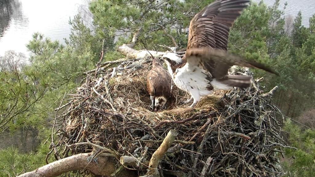 The new parents © Scottish Wildlife Trust