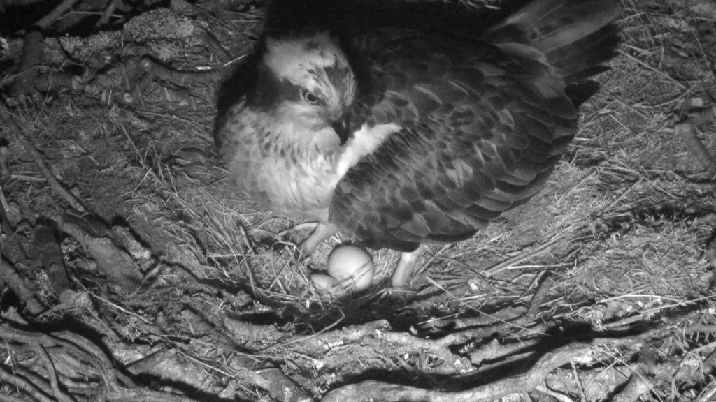 LF15 with her two eggs © Scottish Wildlife Trust