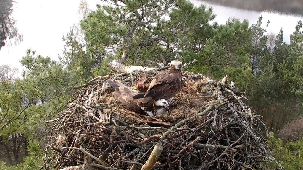 LM12 having one of his moments at the nest ©Scottish Wildlife Trust