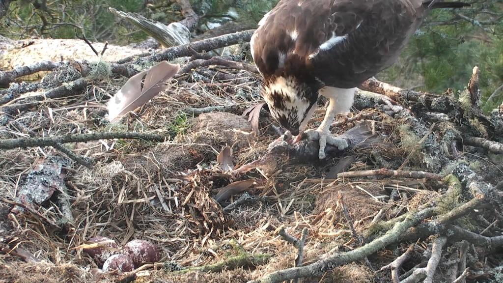 LM12 eating his morning fish ©Scottish Wildlife Trust