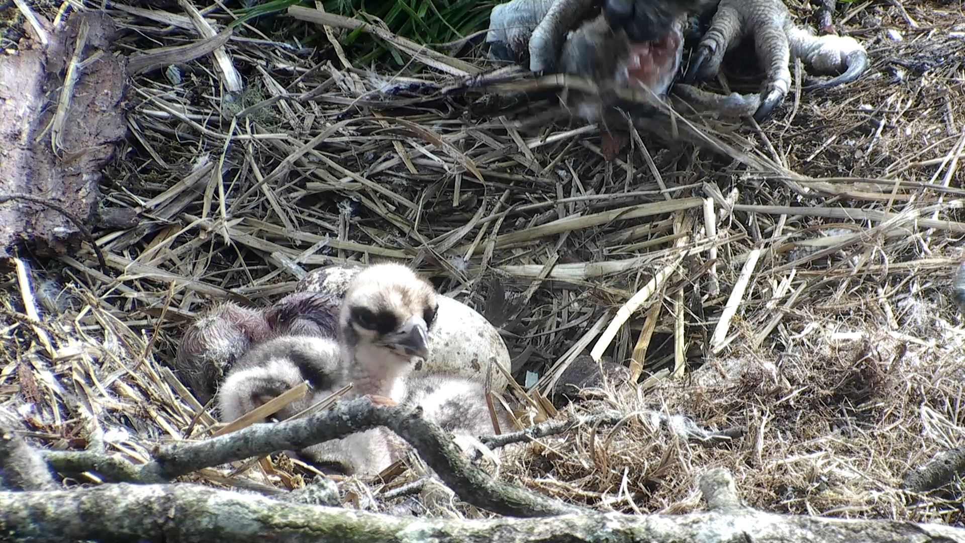 The third chick visible finally! © Scottish Wildlife Trust