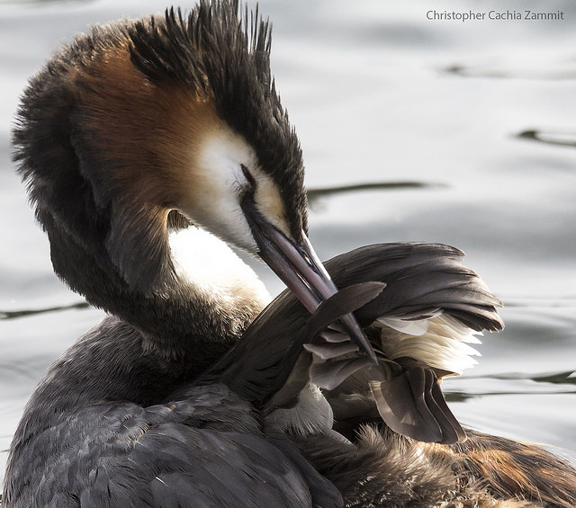 Great Crested Grebe. © Chris Cachia Zammit