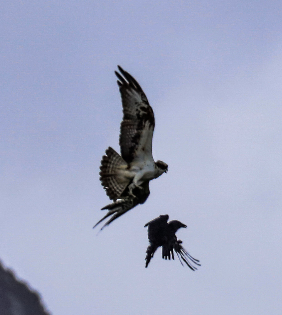 Crow in Male Osprey's talons at Loch of the Lowes © Val Gall