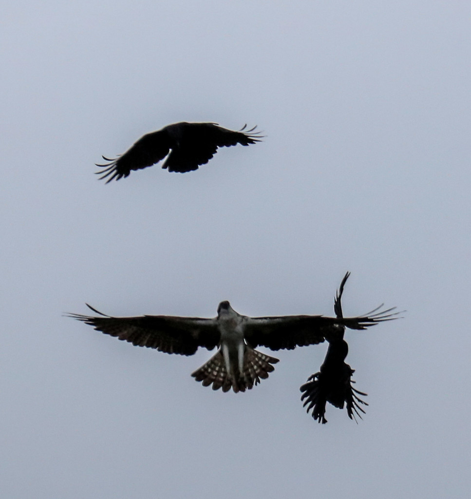 Male Osprey seeing off the crows at Loch of the Lowes © Val Gall