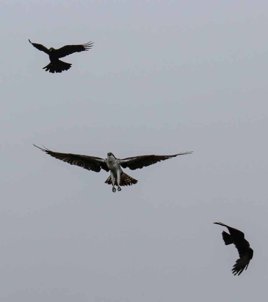Male osprey seeing off the crows, Loch of the Lowes © Val Gall