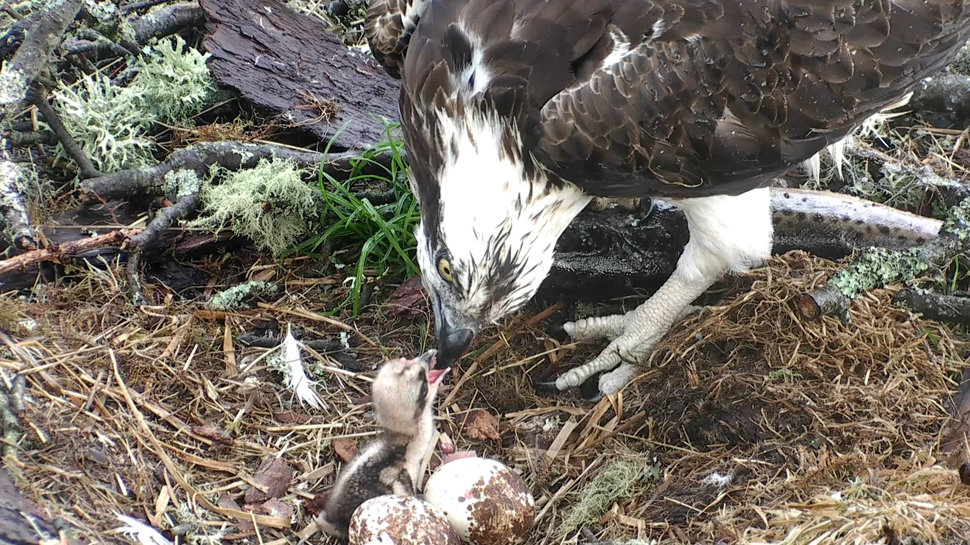 Our chicks first fish supper © Scottish Wildlife  Trust
