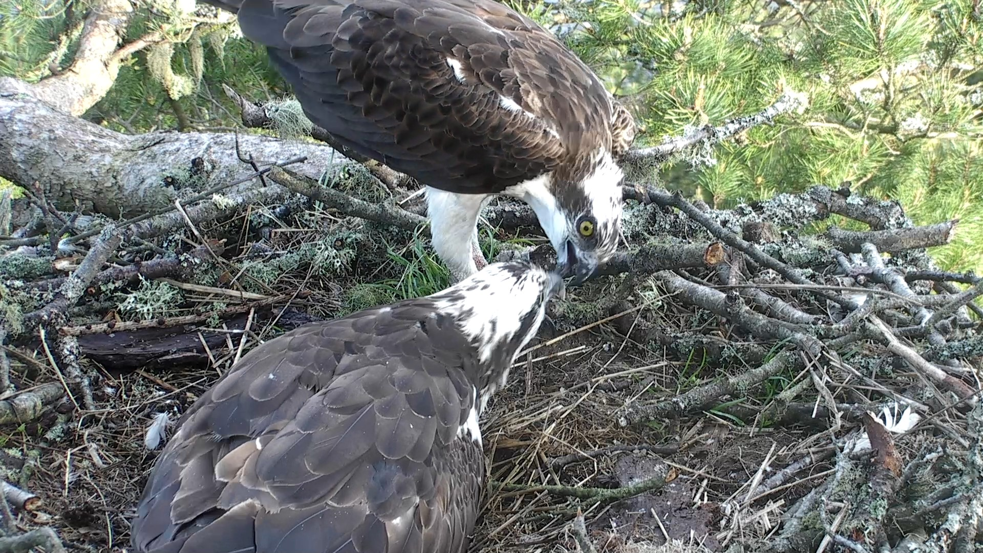 LF15 being delicately fed by LM12 © Scottish Wildlife Trust