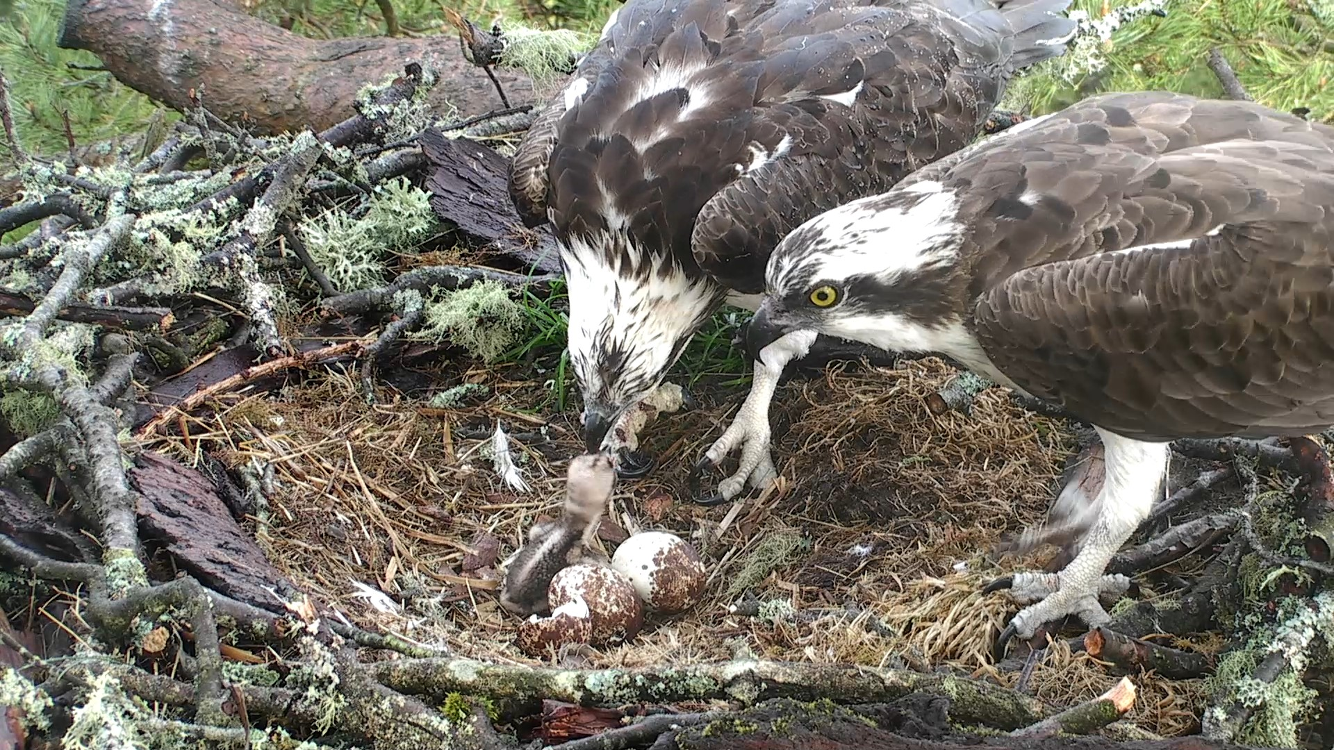 The first family feed © Scottish Wildlife Trust