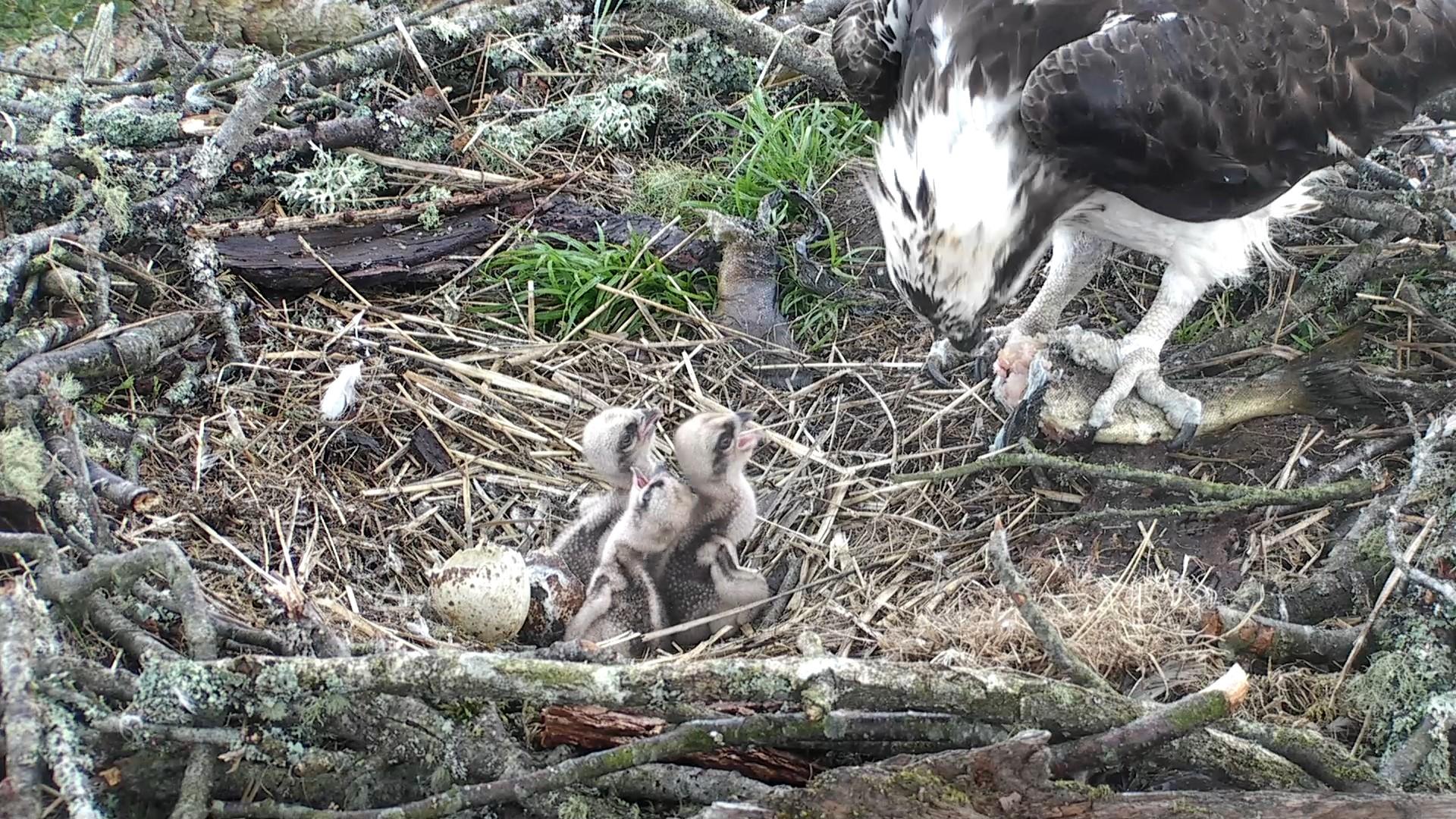 Our trio of chicks at feeding time © Scottish Wildlife Trust
