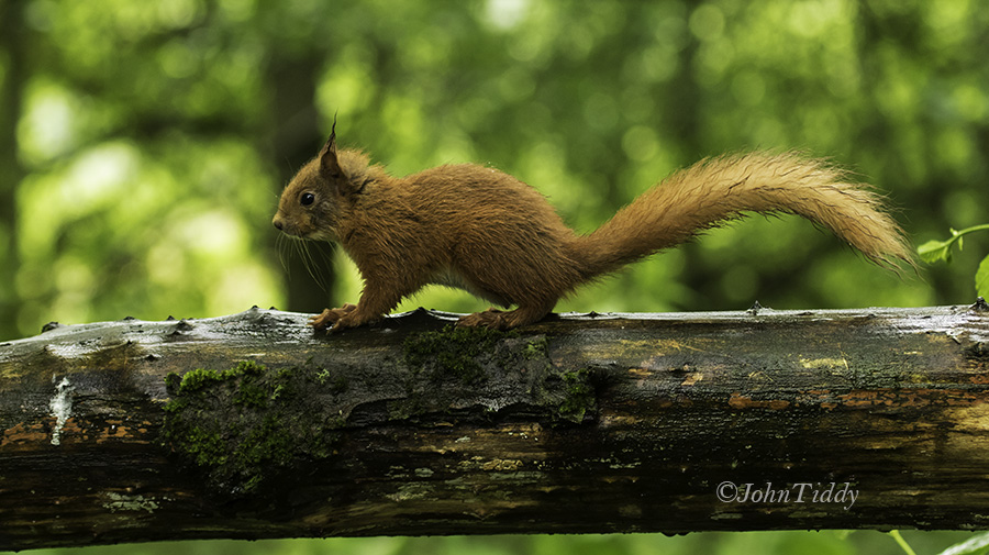 Red Squirrel @John Tiddy