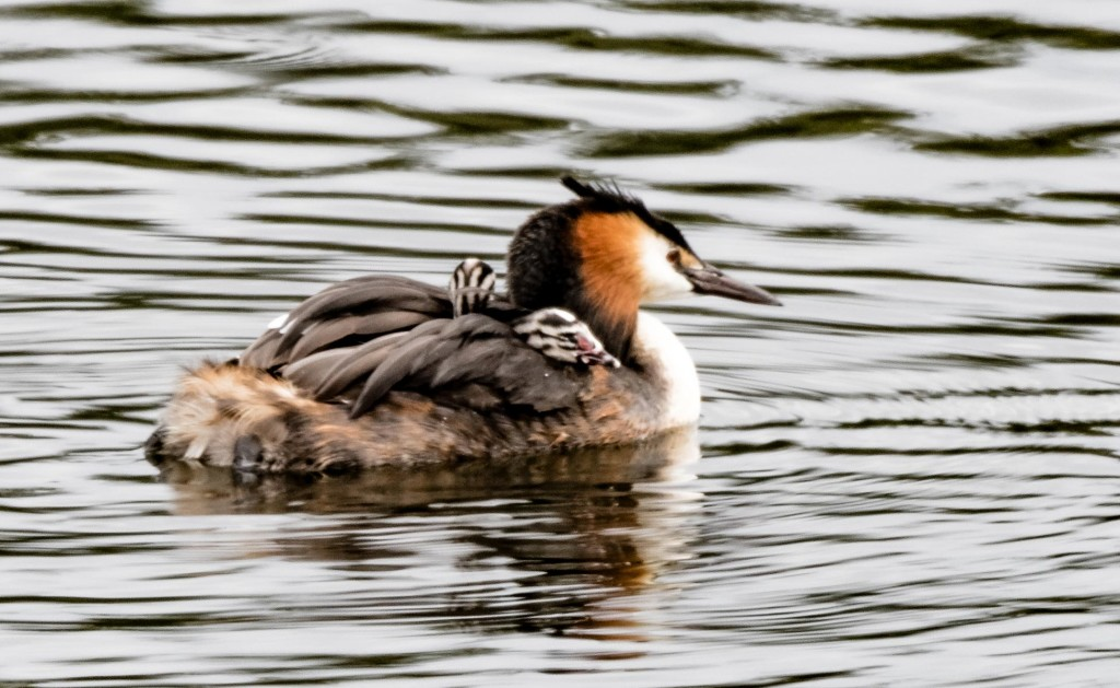 Great crested grebe and chicks ©Marion Moore