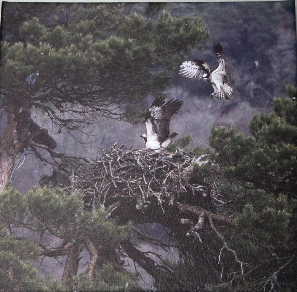 Intruding osprey ©Chris Cachia-Zammit