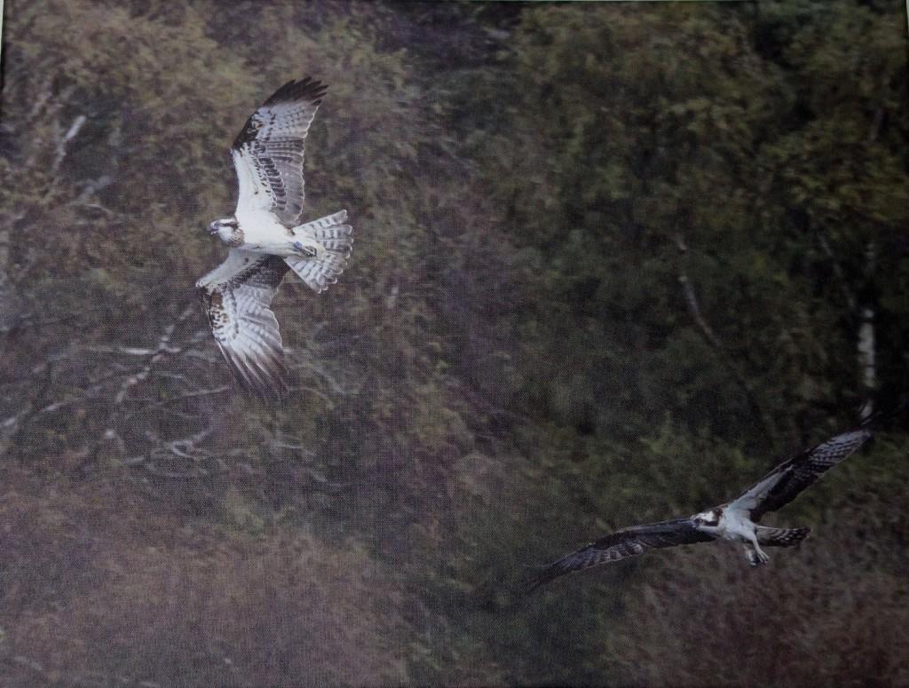 Chasing ospreys ©Chris Cachia Zammit