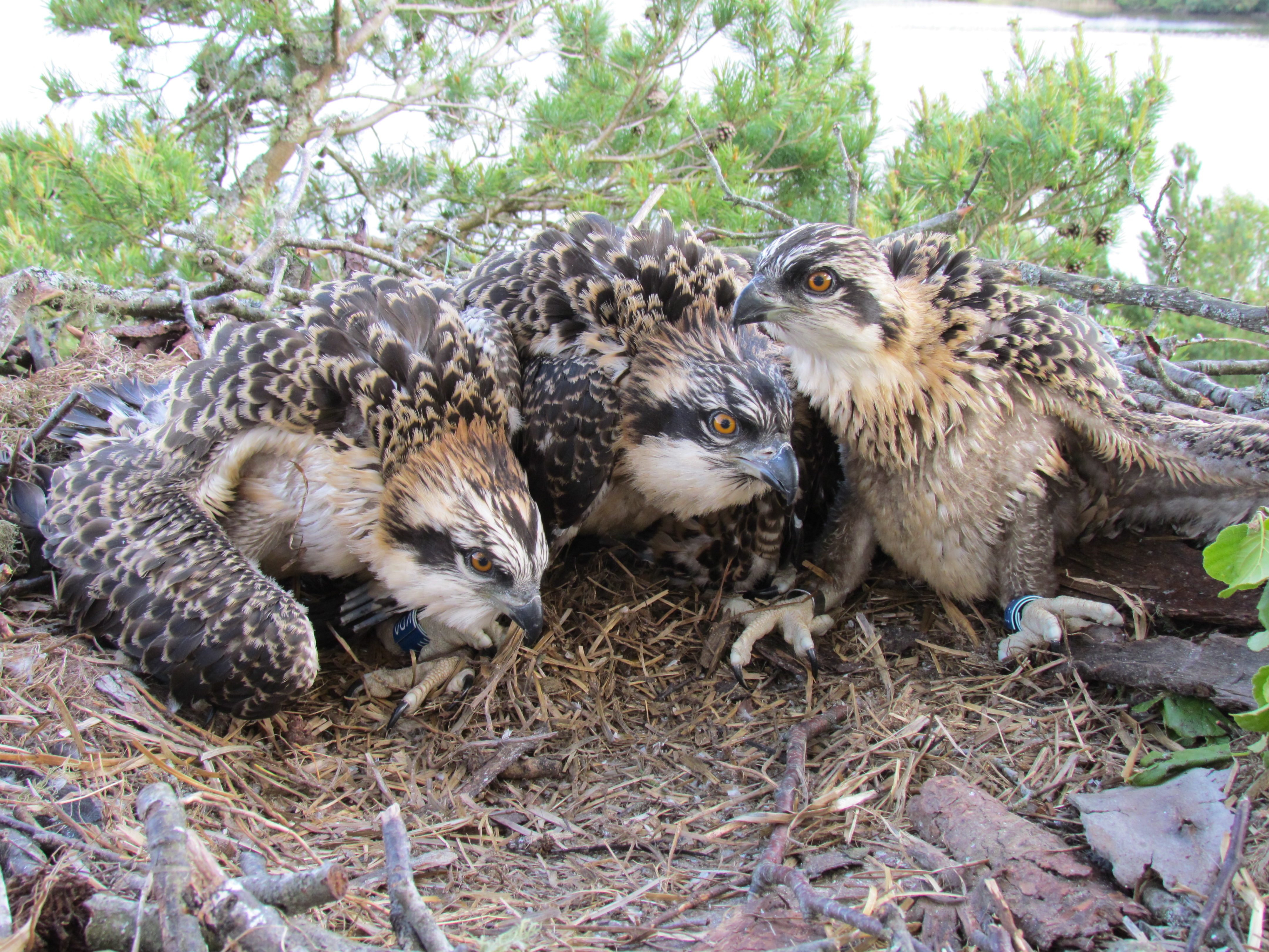 Our newly ringed chicks © Keith Brockie