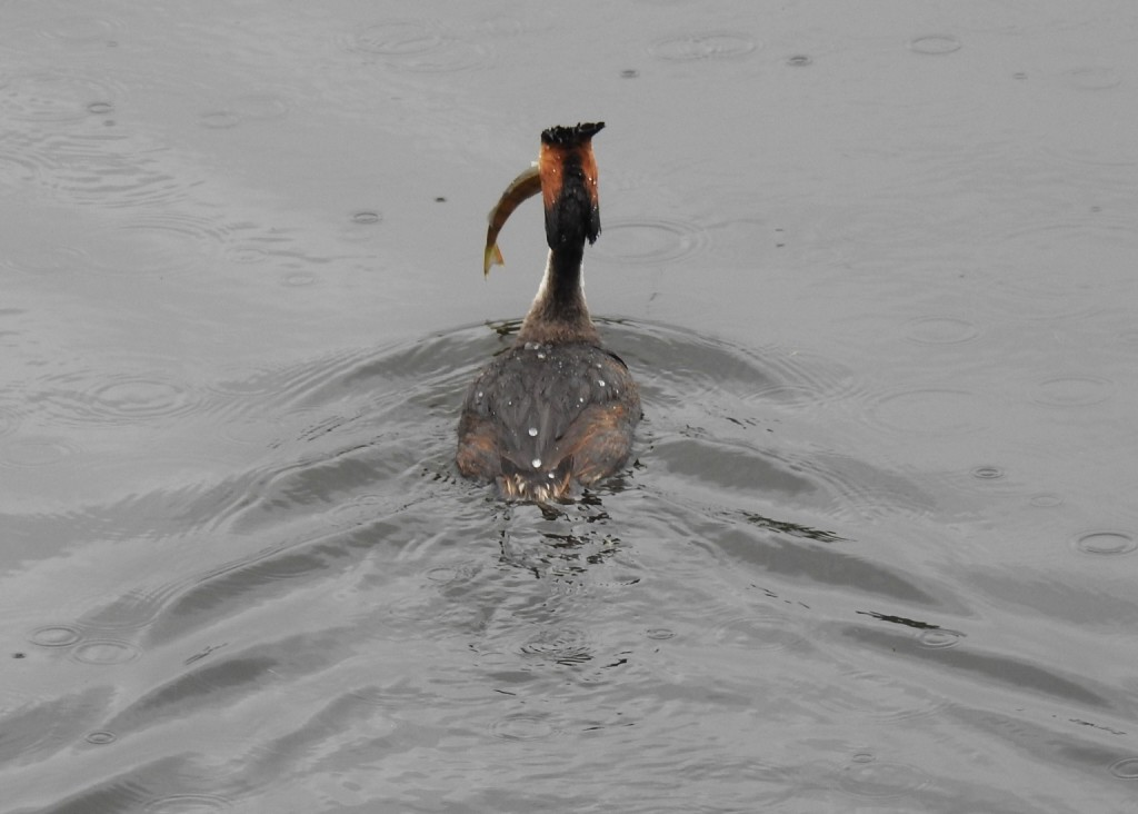 Male great crested grebe with his catch ©Alan Dundas