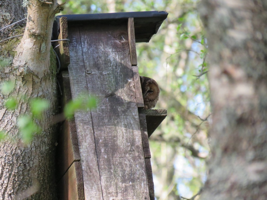 Tawny owl peeping out of the nest box at Loch of the Lowes © Rick Vaughan