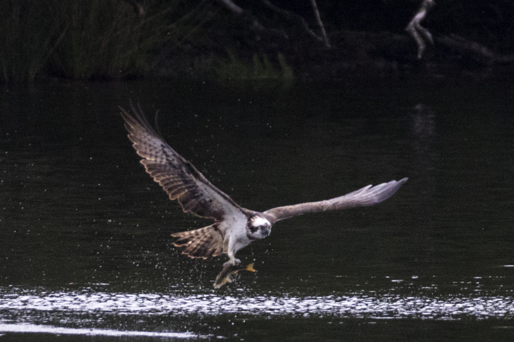 Osprey fishing ©Steve Earle