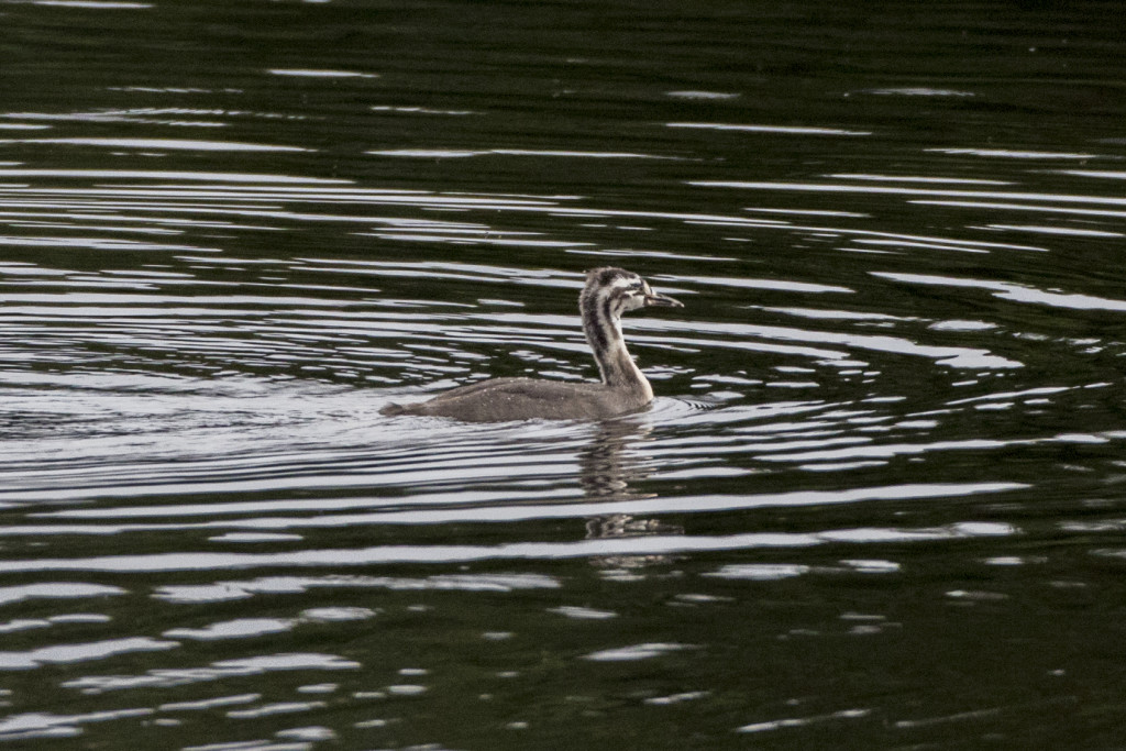 Young Great-crested Grebe ©Steve Earle