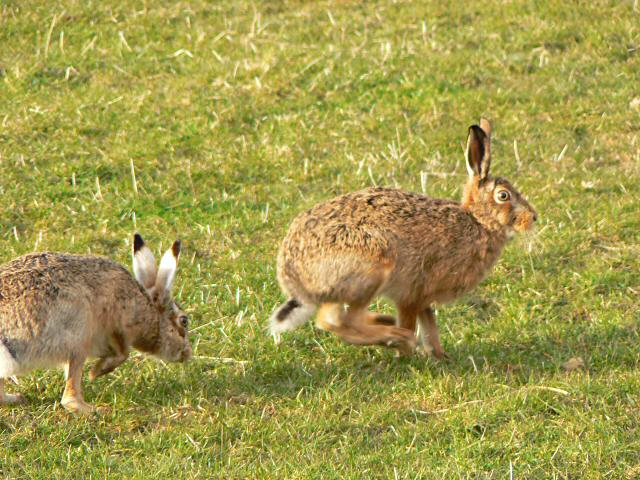 Brown hares ©Rob Burke/Creative Commons