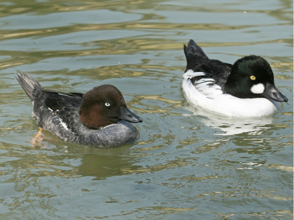 Common goldeneye (Creative Commons)