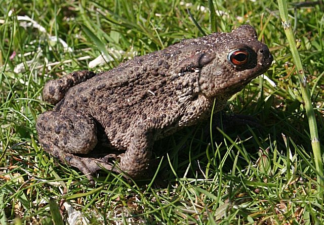 Common toad ©Anne Burgess/Creative Commons