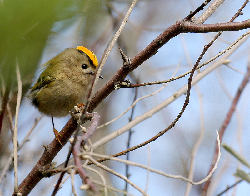 Male goldcrest (Creative Commons/Clement Caiveau)
