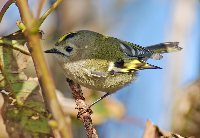 Female goldcrest - CJ Hughson
