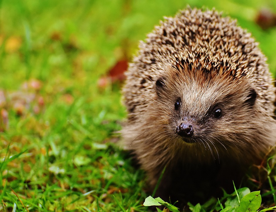hedgehog-1759505_960_720