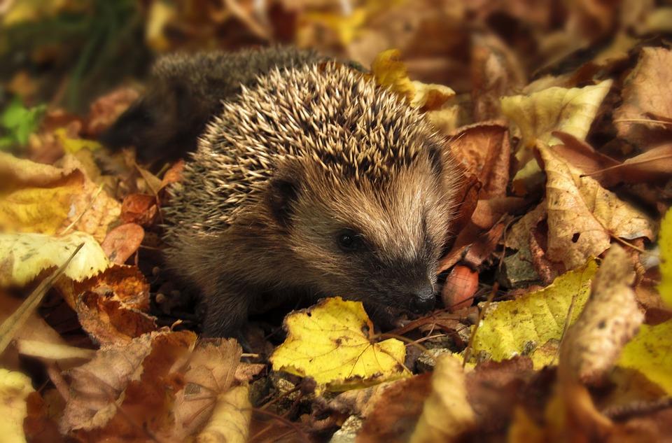 hedgehog-985315_960_720