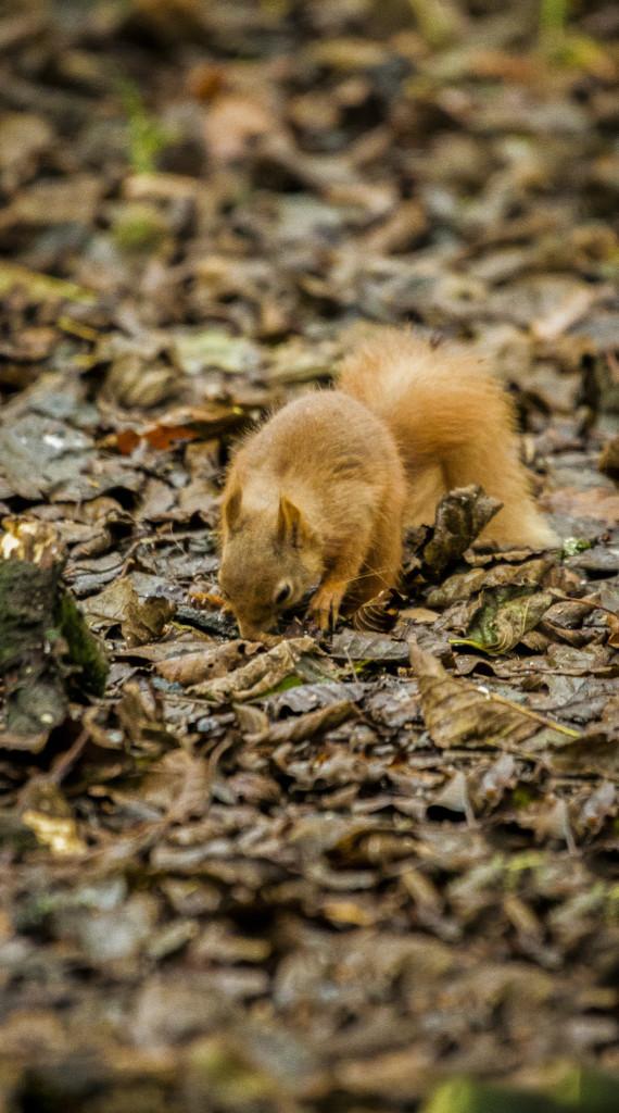 Squirrel stashing peanuts Photo by Chris Cachia Zammit