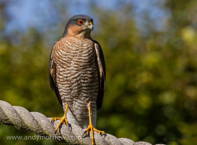 Male sparrowhawk - (Andy Morffew/Creative Commons)
