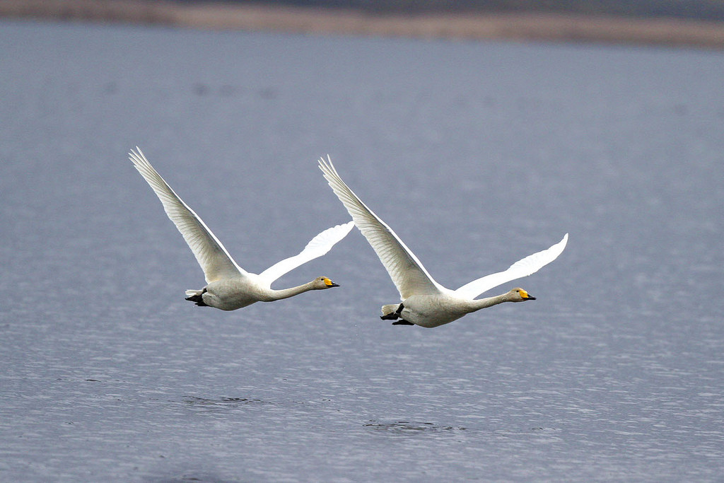 Whooper swans in flight - (Hiyashi Haka/Creative Commons)