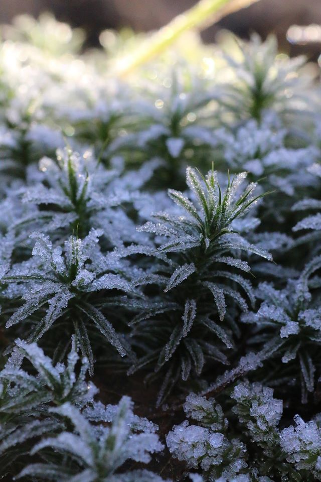 Ferns with frost. Photo taken by Chris Cachia Zammit