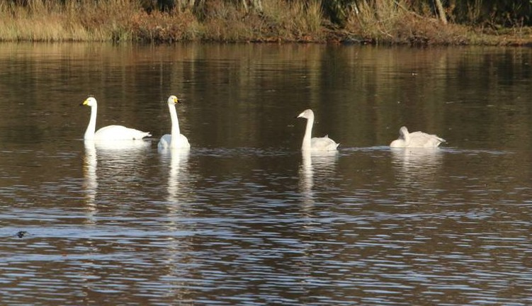 Four whooper swans on the loch. Photo taken by Chris Cachia Zammit