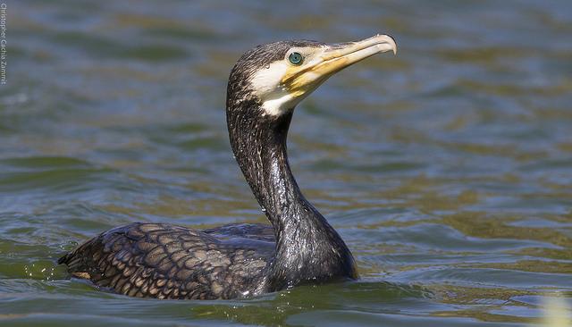Cormorant ©  Chris Cachia Zammit