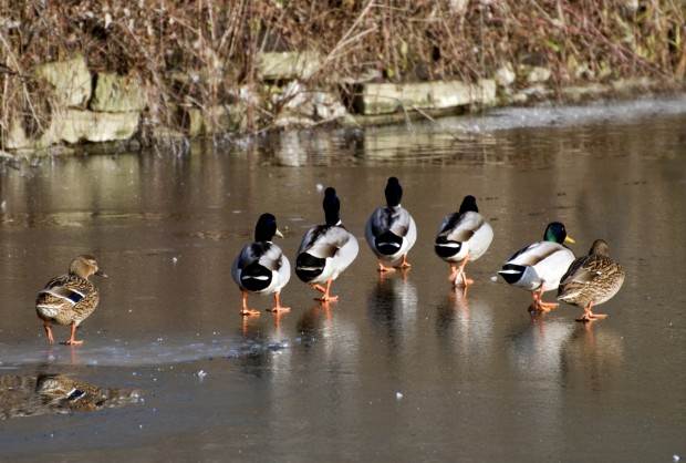 Mallards on ice © Susanna Bird