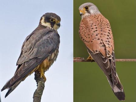 Identifying Birds Of Prey 2 Scottish Wildlife Trust