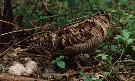 A woodcock with its woodland nest © Roger Tidman