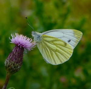The Green-veined white is a common species to see out on the reserve © Mark Colvin