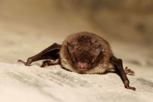 Daubenton's bats hunt low over freshwater, even scooping up insects from the surface © Gilles San Martin