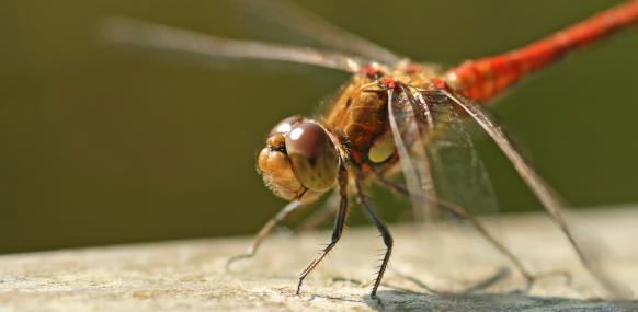 The Common Darter (Sympetrum striolatum) can be seen hunting over the river during the height of summer © Rachel Scopes