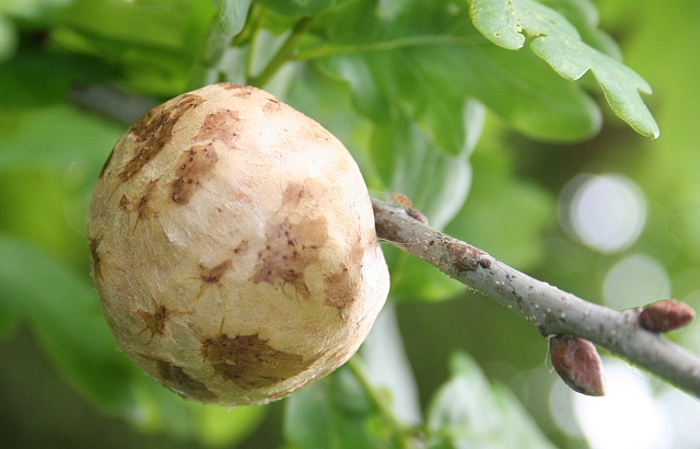 Oak apples are formed by gall wasps laying eggs in leaf buds. © Bob Embleton