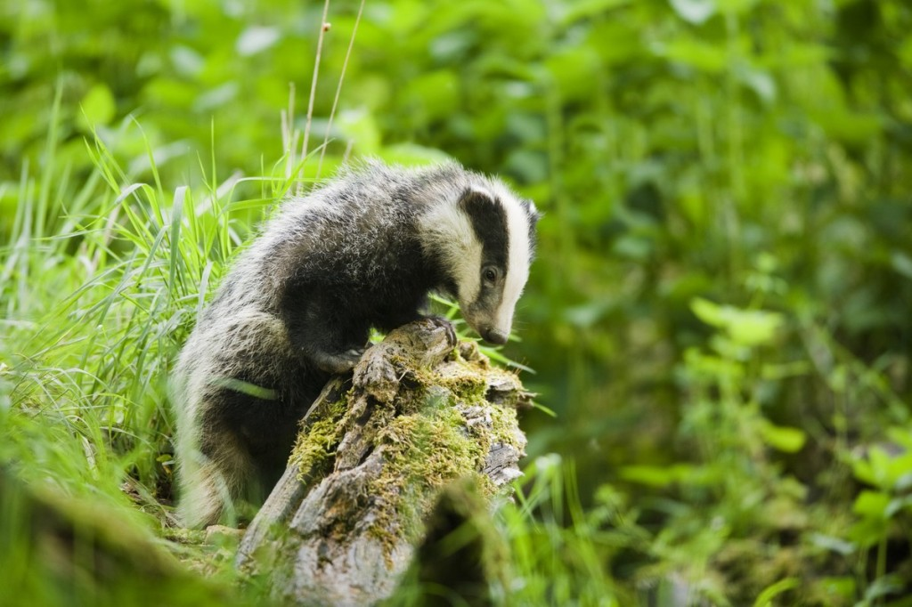 Don't miss this final opportunity to spot our badgers this year © Elliott Neep (see his website here: www.neepimages.com